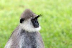 Gray Langur. (Semnopithecus priam) in wild nature in Sri Lanka Royalty Free Stock Photo