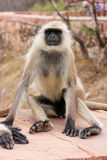 Gray langur sitting in Jaigarh Fort near Jaipur, Rajasthan, Indi Royalty Free Stock Photography