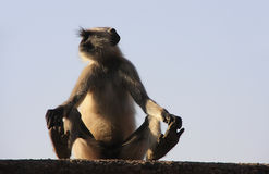 Gray langur sitting at Taragarh fort, Bundi, India Royalty Free Stock Image