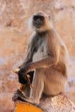 Gray langur sitting at the temple, Pushkar, India Royalty Free Stock Image