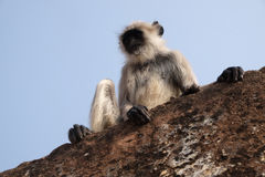 Gray Langur. On Wall at Amber Fort in Jaipur, Rajasthan, India Stock Images