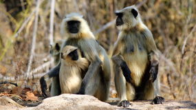 Gray langurs. A Bandhavgarh National Park, Madhya Pradesh, India Stock Image