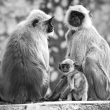 Gray langurs with babies, India Royalty Free Stock Image