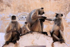 Gray langurs with babies sitting at the temple, Pushkar, India Stock Photo