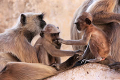 Gray langurs with babies sitting at the temple, Pushkar, India Stock Photos