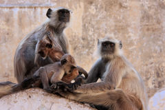 Gray langurs with babies sitting at the temple, Pushkar, India Royalty Free Stock Images
