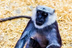 Gray langurs or Hanuman langurs monkey Stock Photos