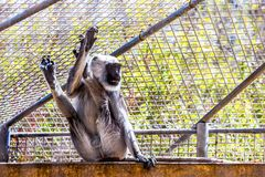 Gray langurs or Hanuman langurs monkey Royalty Free Stock Photos