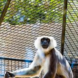Gray langurs or Hanuman langurs monkey Stock Photo