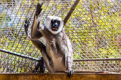 Gray langurs or Hanuman langurs monkey Stock Images