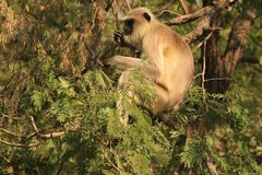 Langur Monkey in Gir National Park. Gray langurs or Hanuman langurs, the most widespread langurs of the Indian Subcontinent, are a group of Old World monkeys Stock Images