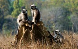 Gray langurs/ Presbytis entellus Royalty Free Stock Image