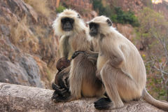 Gray langurs (Semnopithecus dussumieri) with a baby sitting at R Stock Image