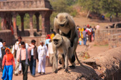 Gray langurs (Semnopithecus dussumieri) mating at Ranthambore Fo Stock Images