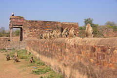 Gray langurs (Semnopithecus dussumieri) sitting at Ranthambore F Royalty Free Stock Photo