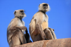 Gray langurs (Semnopithecus dussumieri) sitting at Ranthambore F Stock Photos