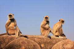 Gray langurs (Semnopithecus dussumieri) sitting at Ranthambore F Stock Photo