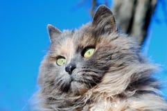 gray lanuginoso del gatto Fotografia Stock Libera da Diritti