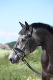 Gray latvian breed horse portrait in summer Royalty Free Stock Photos