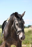 Gray latvian breed horse portrait in summer Stock Photography