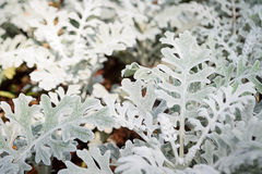 Gray leaf of Dusty Miller Royalty Free Stock Photography