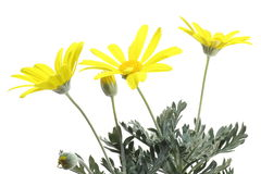 Gray-leaved euryops Royalty Free Stock Photos