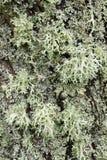 Gray Lichen organisms Royalty Free Stock Photos