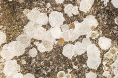 Gray Lichen organisms Royalty Free Stock Photography