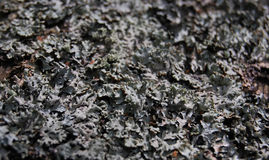 Gray lichen. On the tree for texture Royalty Free Stock Images