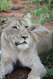 Gray Lioness Stock Photo