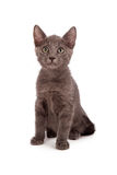 Gray little kitten Royalty Free Stock Image