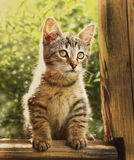 Gray little kitten hunting on the outdoor country Royalty Free Stock Photo
