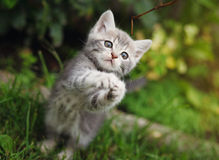 Gray little kitten playing on the garden Stock Photography