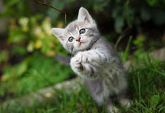 Gray little kitten playing on the garden Royalty Free Stock Image