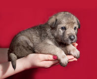 Gray little puppy sitting on hand on red Royalty Free Stock Photography