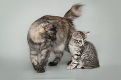 Gray little striped kitten and mother cat on studio background. Gray little striped kitten and mother cat on a gray studio background Stock Photos