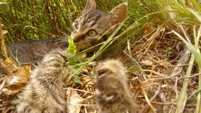 Gray little wild cat, paws and tongue, in the bushes. Someone throws a gray kitten over bilberry bushes in the forest, the flight of a small cat stock footage