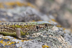Gray lizard (lacerta agilis) Royalty Free Stock Images