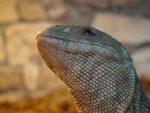 Portrait of a lizard. royalty free stock images