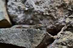 Gray lizard lying on a rock Stock Image