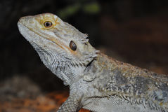 Gray lizard Royalty Free Stock Images