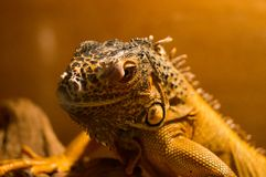 Lizard in terrarium. Gray lizard at the terrarium Royalty Free Stock Photography
