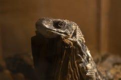Lizard in terrarium. Gray lizard at the terrarium Stock Photos