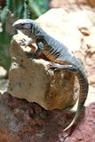 Gray Lizard in the Wood Royalty Free Stock Images