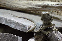 Gray Lizard in the Wood Stock Images