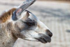 Gray Llama bianco nel profilo Fotografia Stock Libera da Diritti