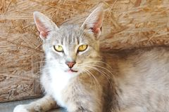 Gray lynx cat with big ears and yellow eyes is lying looking homeless evil stock images