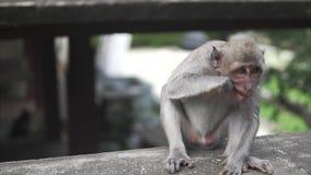 Gray Macaque Monkey, dans la nature sauvage dans la jungle Le singe regarde à l'appareil-photo et mange une certaine petite parti banque de vidéos