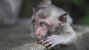 Gray Macaque Monkey i den lösa naturen i djungeln Apan ser med sneda bollen öppnade ögon till kameran och äta arkivfilmer