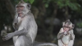 Gray Macaque Monkey i den lösa naturen i den tropiska djungeln Apafamiljen och barn ser till kameran arkivfilmer
